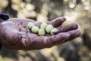 Jordan Olivenöl - Ernte per Hand